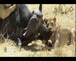 Biggest wild animal fights - CRAZIEST Animals Attack - Crocodile vs Lion vs Wildebeest