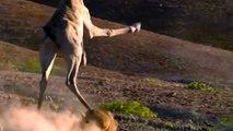 Así fue sometido un león por una jirafa