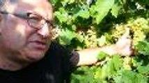 Vignoble du cognac : les vendanges débutent