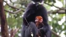 Australie   Un petit singe au pelage roux fascine les internautes depuis sa naissance