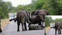 Ce bébé éléphant C. effondré sur La Route ;ce que le troupeau a fait - étonnant et touchant- !
