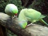 Green Parrots Talking Parrot - Parrots Talk - Video- Dailymotion