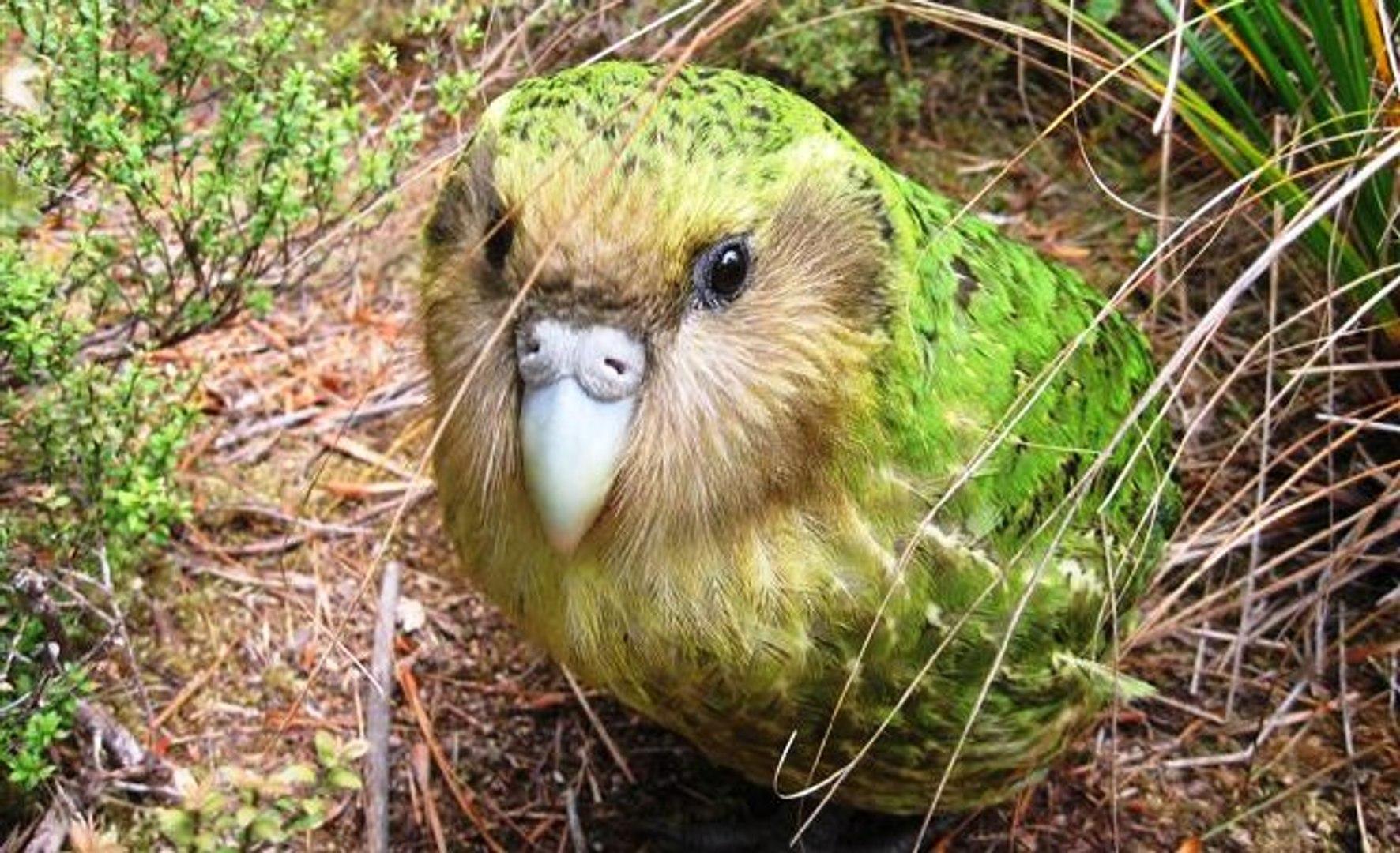 Dünya'nın Uçamayan Tek Papağanı | Kakapo Kuşu - Dailymotion Video