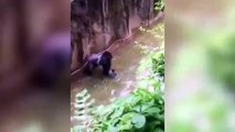 Gorilla Harambe Was Shot To Save a Kid (Video Footage)