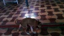 Canine Distemper 1