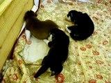 Siberian Husky Puppies 10 days old