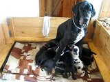 Great Danes Puppy 27 days old II.