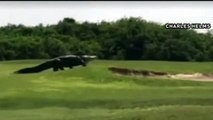 Un alligator énorme sur un parcours de golf en Floride