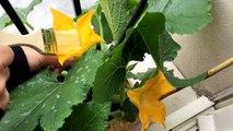 29/06/16. Pollinisation manuelle au pinceau de mes fleurs de courgette. Culture sur balcon/Jardin.