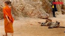 Thaïlande: 40 cadavres de bébés tigres retrouvés dans un temple