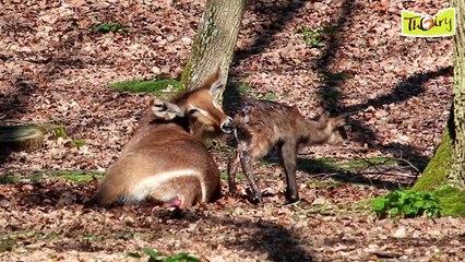 Naissance d'un bébé Cobe à Croissant au Parc Zoologique de Thoiry