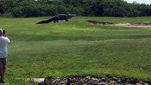 Un alligator géant vient troubler la tranquillité d'un green de golf en Floride