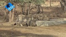Rare 10 Asiatic lions big group are going to drinking on Water basin Amazing video from Gir National park Gujarat India