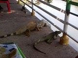 Iguanas boxeadoras