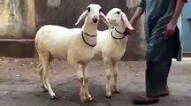 || Bakra Qurbani || 2016 || 2017 || Bakra eid in Pakistan || Bakra Eid ||