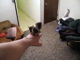 Un écureuil comme animal de compagnie saute partout dans l'appartement - Adorable