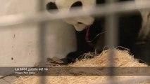 Naissance d'un bébé panda filmée en belgique. Tellement mignon et si rare