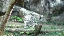 Un léopard des neiges fait une rotation a 360 degrés en sautant contre un mur