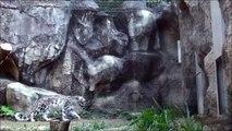 Un léopard des neiges très très agile... Hop, petit backflip
