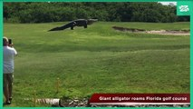 GIANT ALLIGATOR ROAMS GOLF COURSE IN PALMETTO, Florida MUST SEE