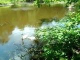 Music of nature,beautiful swans.