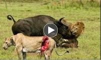 2 male lions fail to take down a buffalo   Unsuccessful - lions mâles ne parviennent pas à abattre un buffle