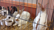 Bourse aux oiseaux et aux lapins à Souvigné