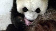 Le Bébé Panda De Pairi Daiza Dans Les Bras De Sa Maman : Un Moment Sensationnel !
