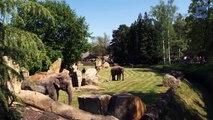 Mãe elefante pede ajuda aos tratadores do zoológico para que despertem o seu bebé que não acordava