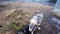 Ils disent qu'elle est folle de s'occuper de ces loups, mais regardez bien quand elle les flatte...