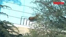 Californie: un ours prend un bain dans une piscine