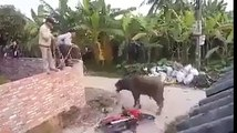 Angry Cow Funny Attack - Mad Cow Destroying Everything Must Watch