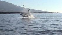 "ZAP DU WEEK-END #479 : Une orque ""joue"" avec une tortue de mer !"