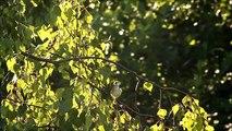 Busksångare/Acrocephalus dumetorum/Blyth´s Reed Warbler Tippgången Halmstad 2014-06-24