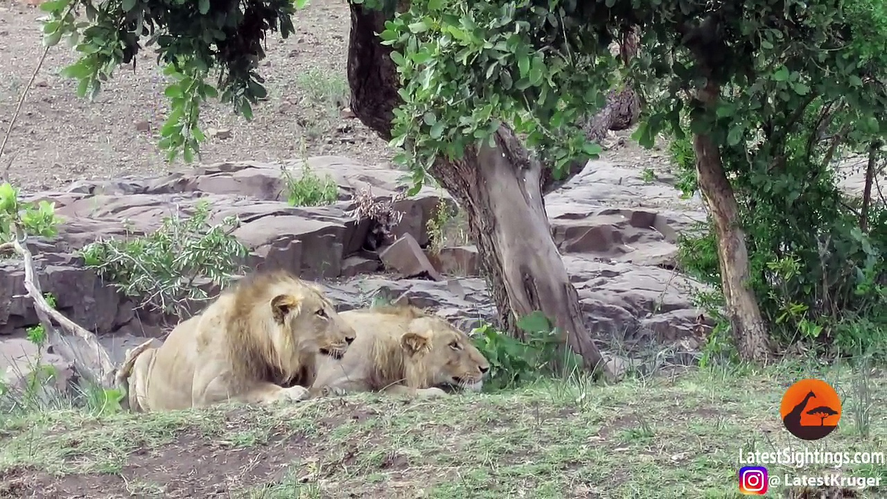 Lions Chase Buffaloes Into Tourists Car