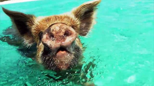 Cochons nageant à Exuma