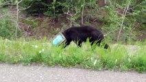 Un ours la tête coincée dans une boite de conserve sauvé par des biologistes