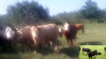 """""""COWS+COWS+COWS+WISPERER"""" ST MALO LSD25RECORDS JULY 22 2014"""