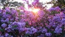 When Lilacs Last in the Door-yard Bloom'd - Stanzas 13 - 15