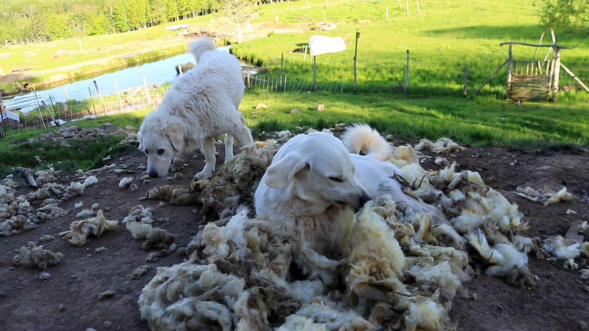 Livestock Guard Dog loves pulling the wool.