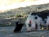 crow and a pig story #2