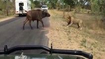 Lion vs buffalo
