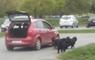 Trop fainéant, il promène ses chiens... en voiture !