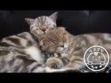잘 때도 고양이 브로맨스 Cats Sleeping [탐묘생활] scottish fold cats