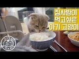 집사 밥까지 노리는 식탐 고양이 이즈 Cats Tries To Steal Human Food[탐묘생활] scottish fold cat