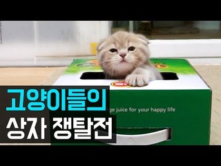 고양이들의 상자 쟁탈전 Cats Play with a Box [Suri&Noel]-EP44