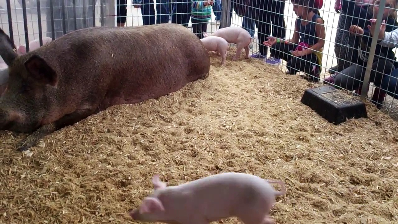 Baby pigs playing