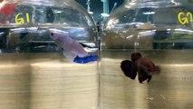 Malaysia Wild Imbellis vs Giant Plakat Betta [Sparing Test] - video