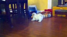 Teacup Shih tzu Puppies Cute shihtzu pups playing cutiest baby pet puppy compilation