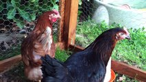 Mes animaux #2 Mes poules